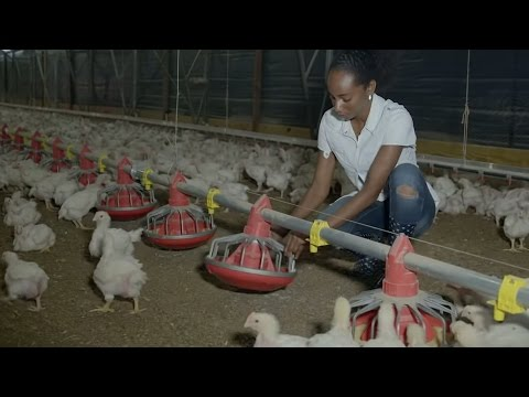 Solar Powers Chickens in Jamaica 1