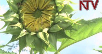 Shs 1bn credit boosts Lango sunflower oil production 3