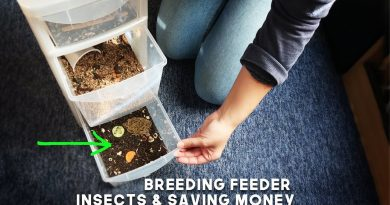 Breeding Feeder Insects & Saving Money on Gecko Food! 3