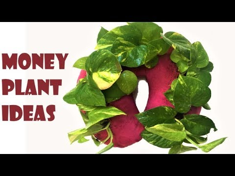 money plant/money plant growing ideas/money plant hanging idea/money plant decoration/organic garden 1