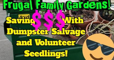 Frugal Family Gardens! #1: Saving MONEY With Dumpster Salvage AND Volunteer Plants! 4