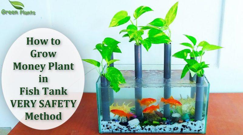 Grow Money Plant in Fish Tank | Money plant Decoration | Money plant Growing Idea//GREEN PLANTS 8